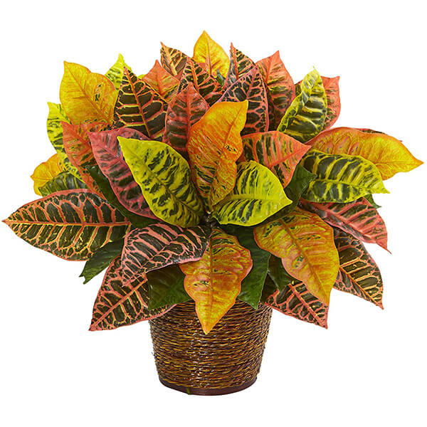Decorative Croton Plant in a Basket (1 ft. 5 in)