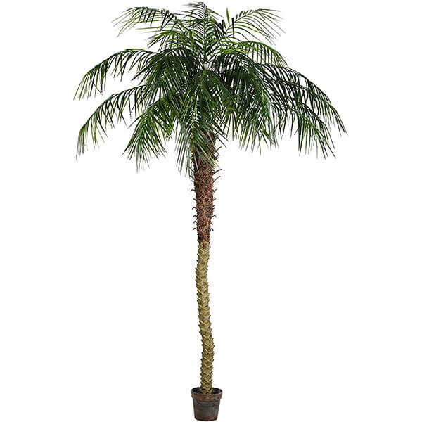 Tall Phoenix Palm Tree with 25 Branches (8 ft)