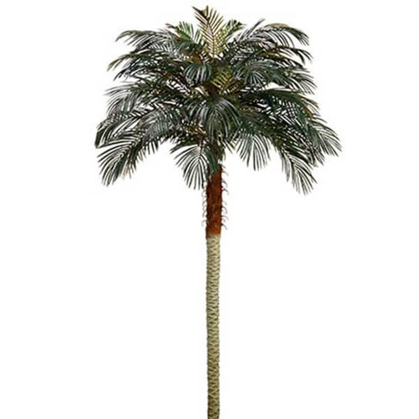 Combo Of 2 Pcs of Phoenix Palm Trees without Pots (8 ft)