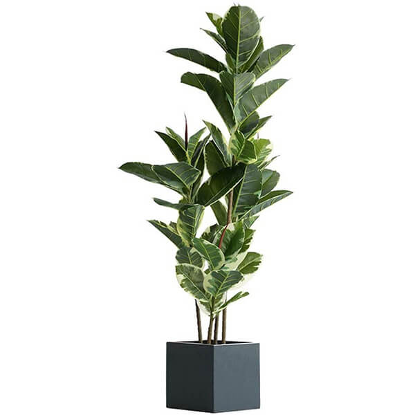 Fake Rubber Plant (4 ft. 10 in)