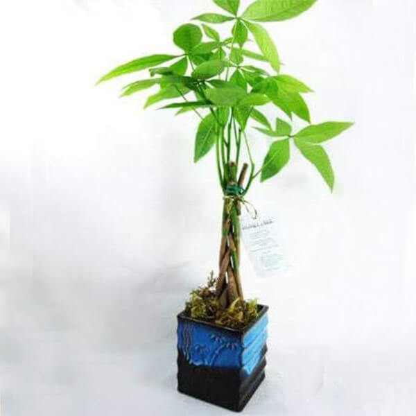 Golden Money Tree with Chinese Dragon Pots (7 in )